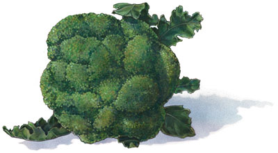 Broccoli---artwork