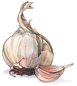 Garlic---artwork