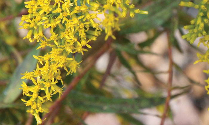 Sweet-Goldenrod